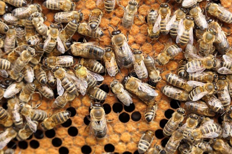Las abejas se están sentando en una cera de abejas imagen de archivo