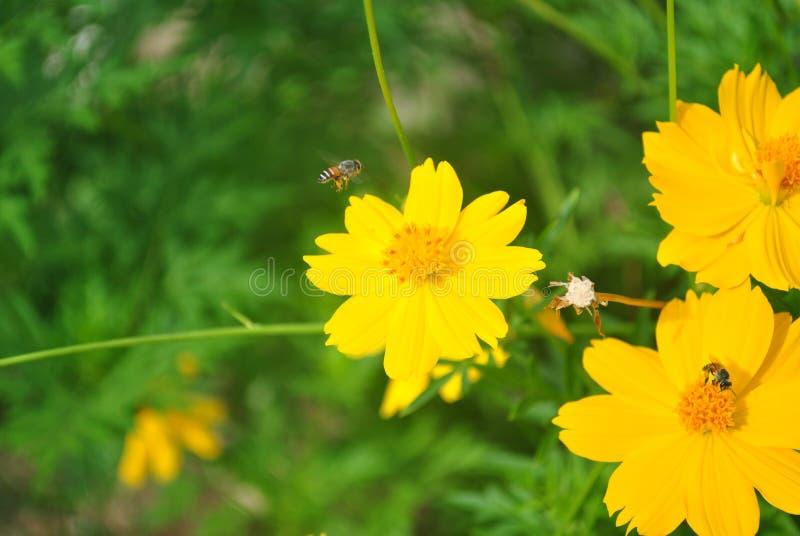 Las abejas vuelan a las flores del cosmos foto de archivo