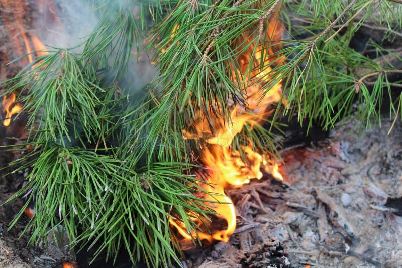 Las agujas del pino se envuelven en lenguas de la llama imagen de archivo