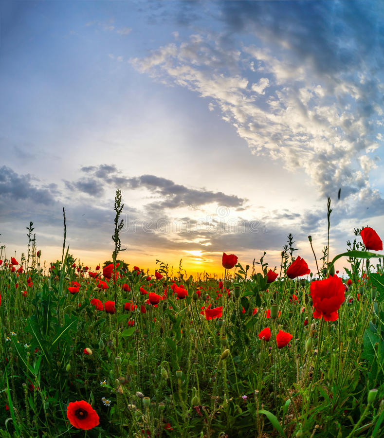 Las amapolas rojas hermosas colocan la opinión panorámica de la salida del sol, Alsacia, Fran fotografía de archivo