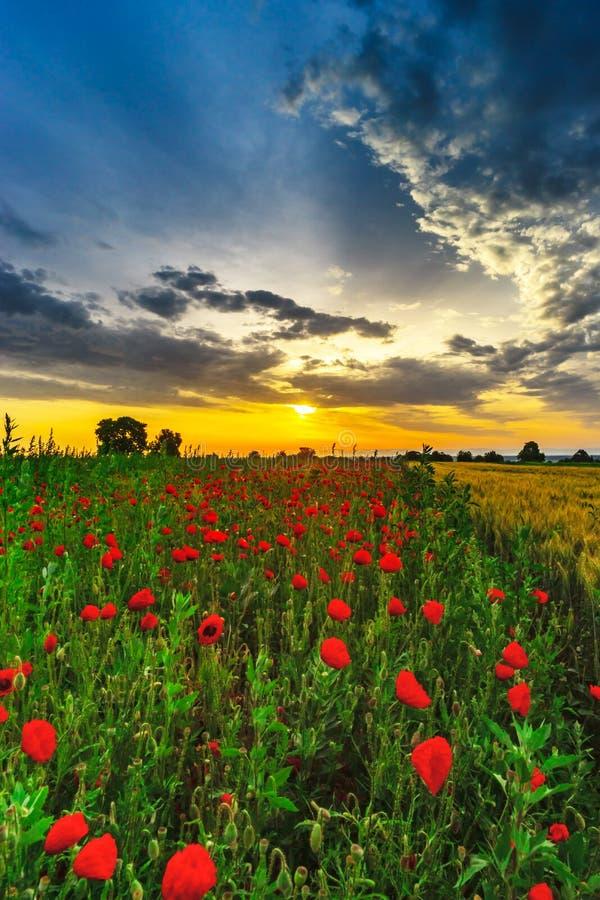 Las amapolas rojas hermosas colocan la opinión panorámica de la salida del sol, Alsacia, Fran imagen de archivo