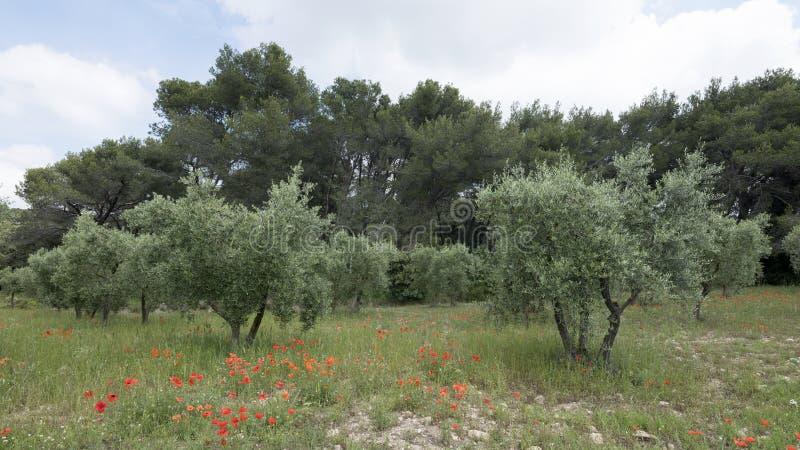 Las amapolas y los olivos rojos acercan a área del luberon en la Provence francesa fotografía de archivo libre de regalías