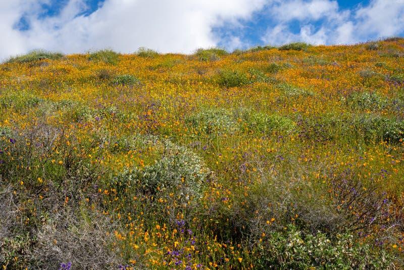 Las amapolas y otros wildflowers florecen en una ladera en Walker Canyon en el lago Elsinore California durante el superbloom 201 foto de archivo libre de regalías