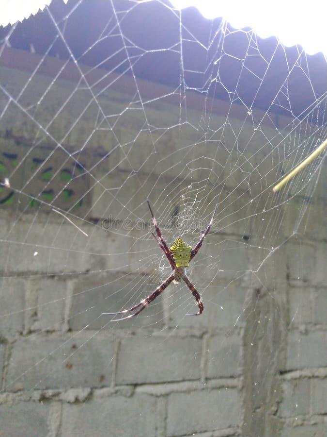 Las arañas tropicales son depredadores de pequeños insectos imagen de archivo libre de regalías