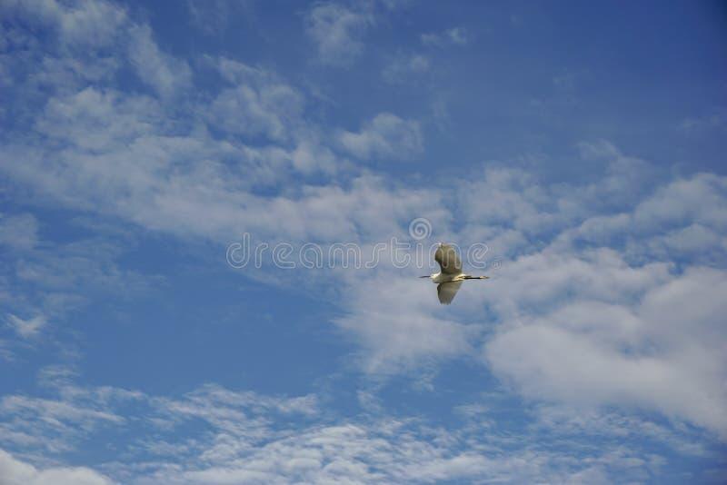 Las aves marinas blancas, la boca negra y las piernas están volando en el cielo azul con las nubes blancas fotos de archivo