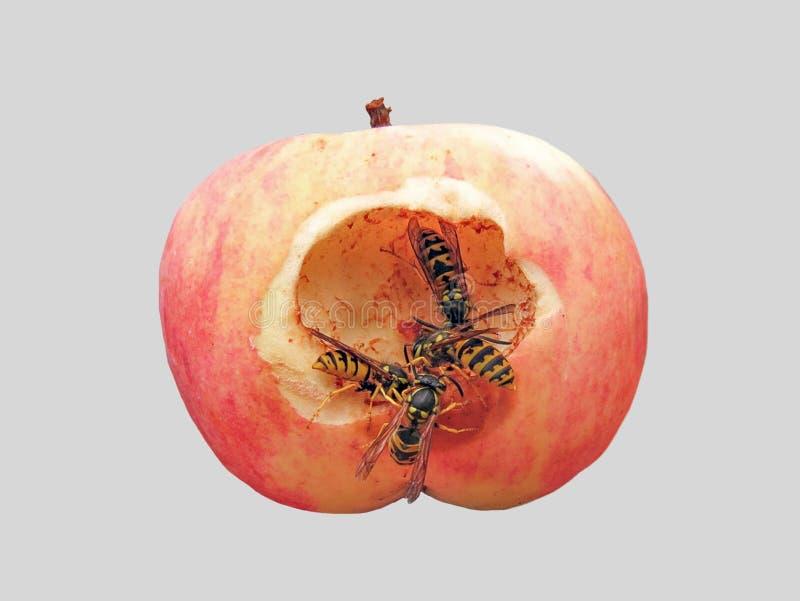 Las avispas son una manzana persistente imagen de archivo libre de regalías