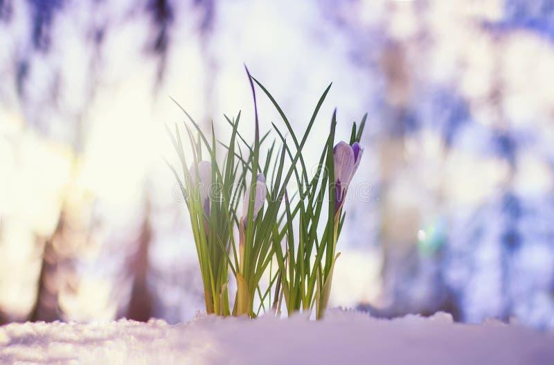 las azafranes púrpuras de las flores hermosas subieron hacia fuera en la primavera en el parque de debajo la nieve blanca brillan foto de archivo libre de regalías