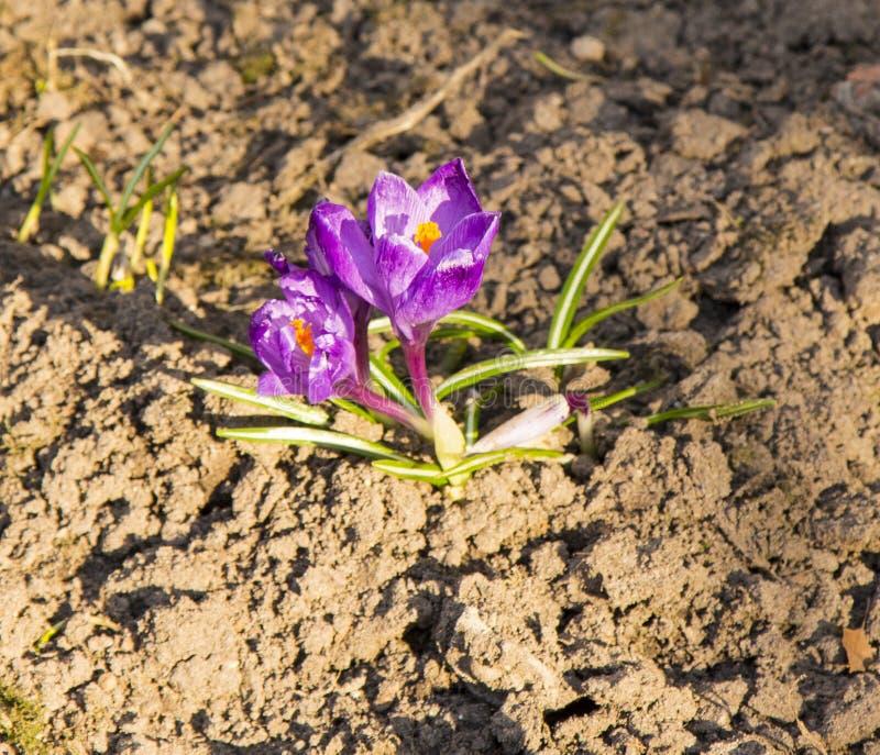 Las azafranes son las primeras flores de la primavera Dulzura, fragilidad fotos de archivo