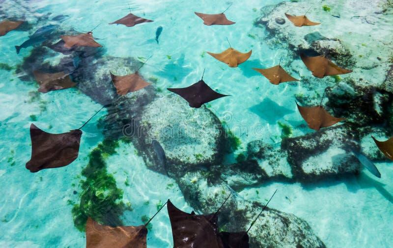 Las Bahamas: Rayos de picadura jovenes que nadan lentamente fotos de archivo libres de regalías