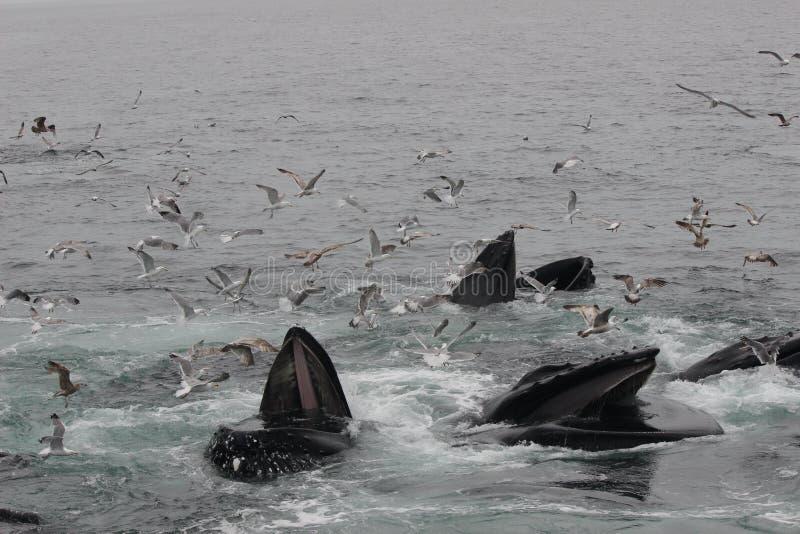 Las ballenas jorobadas se lanzan la alimentación, abierto de par en par de las bocas rodeadas por las gaviotas imagen de archivo libre de regalías