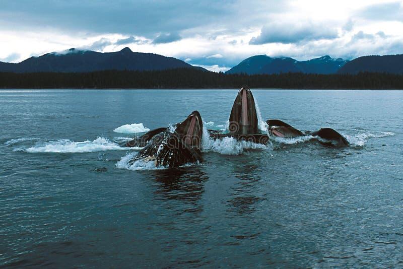 Las ballenas jorobadas se lanzan la alimentación (los novaeangliae del Megaptera), Alaska, foto de archivo libre de regalías