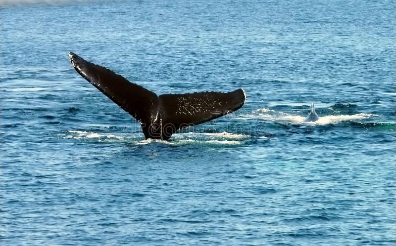 Las ballenas sirven de madre con los jóvenes fotos de archivo