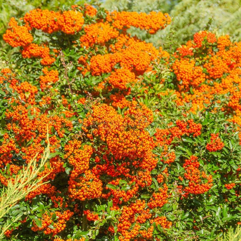 Las bayas de color naranja del otoño con verde se van en arbustos médico foto de archivo libre de regalías
