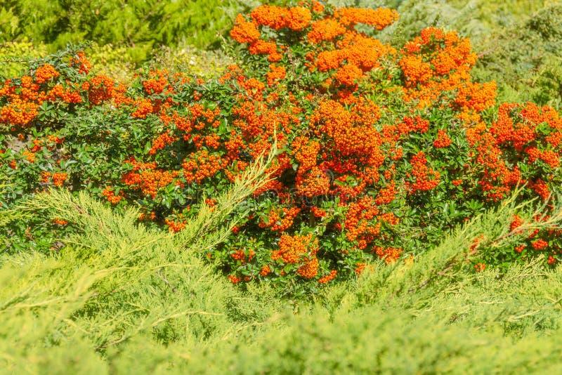 Las bayas de color naranja del otoño con verde se van en arbustos médico imagen de archivo
