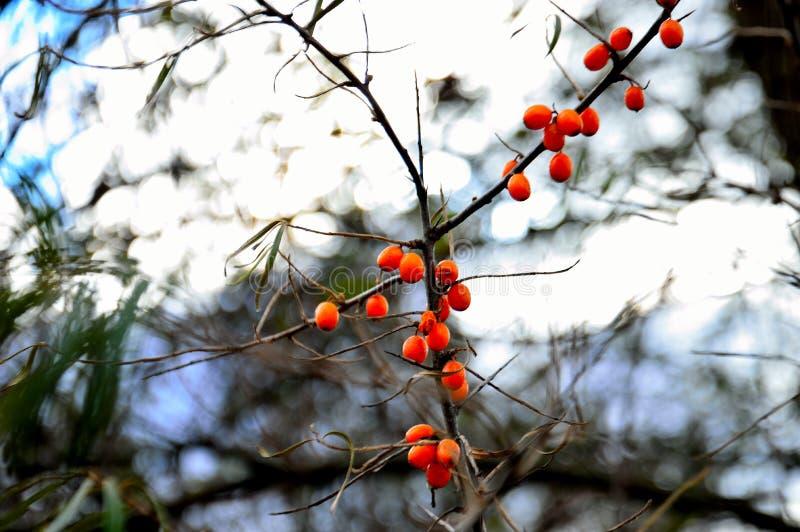 Las bayas de espino cerval de mar en la rama autumnBeautiful de espino amarillo en un cielo del fondo en otoño imagen de archivo libre de regalías