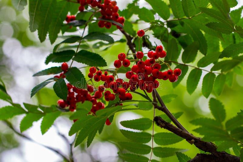 Las bayas de serbal, aucuparia del Sorbus, árbol también llamaron el serbal y el moun foto de archivo