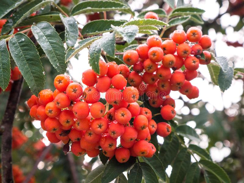 Las bayas de serbal, aucuparia del Sorbus, árbol también llamaron el serbal y el moun fotos de archivo