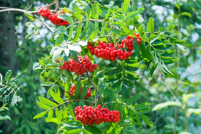 Las bayas de serbal, aucuparia del Sorbus, árbol también llamaron la ceniza del serbal y de montaña imagenes de archivo