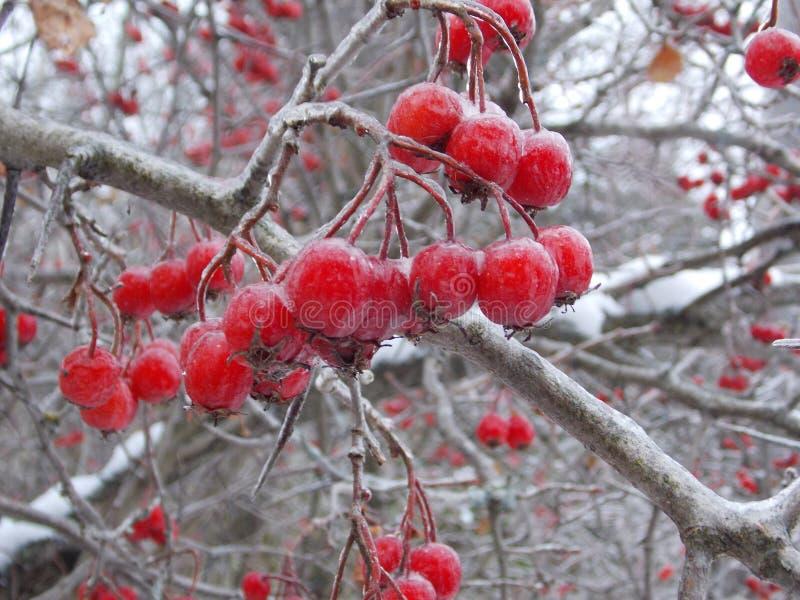 Las bayas de serbal hielan árboles forestales del invierno en helada de la nieve imagenes de archivo