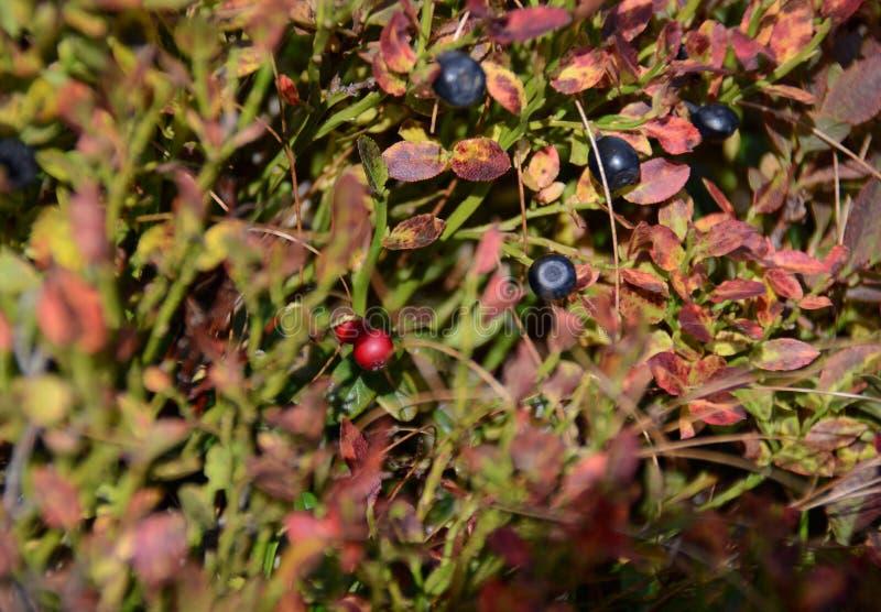 Las bayas del bosque rojo y negro crecen en el bosque en los arbustos bajo rayos del sol imágenes de archivo libres de regalías