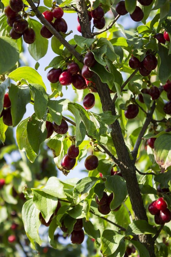 Las bayas maduras del cornejo crecen en un árbol Cosecha, verano Las bayas rojas imagenes de archivo