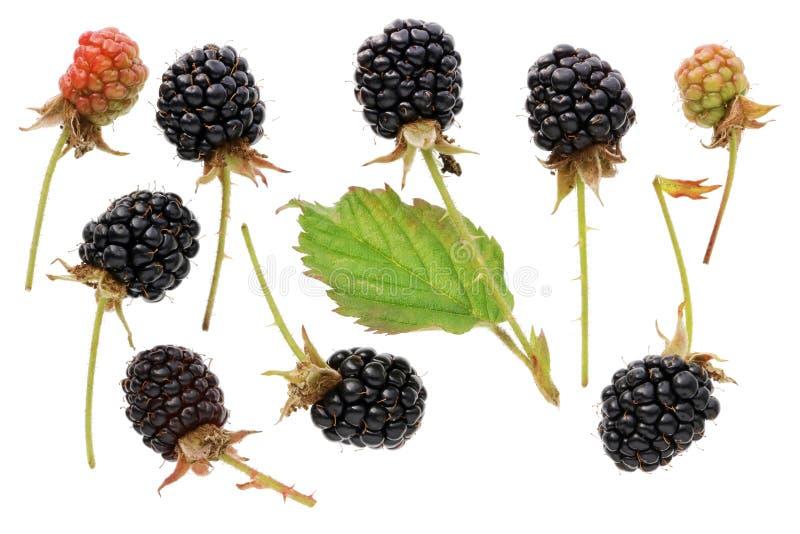Las bayas negras maduras de la zarzamora del jardín dan fruto con espinoso corto fotos de archivo
