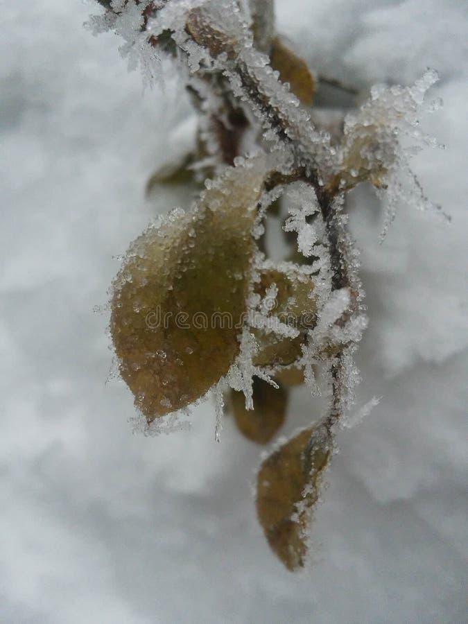 Las bayas rojas congeladas encendido rowen el árbol cubierto con imagen del invierno o de la Navidad de la helada montana Inviern imagenes de archivo