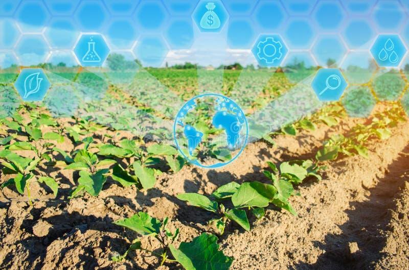 Las berenjenas jovenes crecen en el campo filas vegetales Agricultura farmlands Paisaje con la región agrícola Innovaciones en ag imágenes de archivo libres de regalías