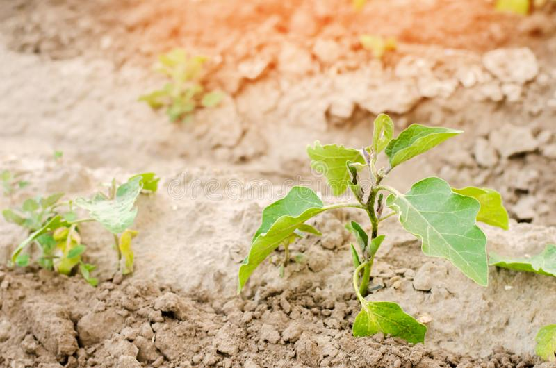 Las berenjenas jovenes crecen en el campo filas vegetales Agricultura, verduras, productos agrícolas orgánicos, agroindustria Tie imagen de archivo libre de regalías