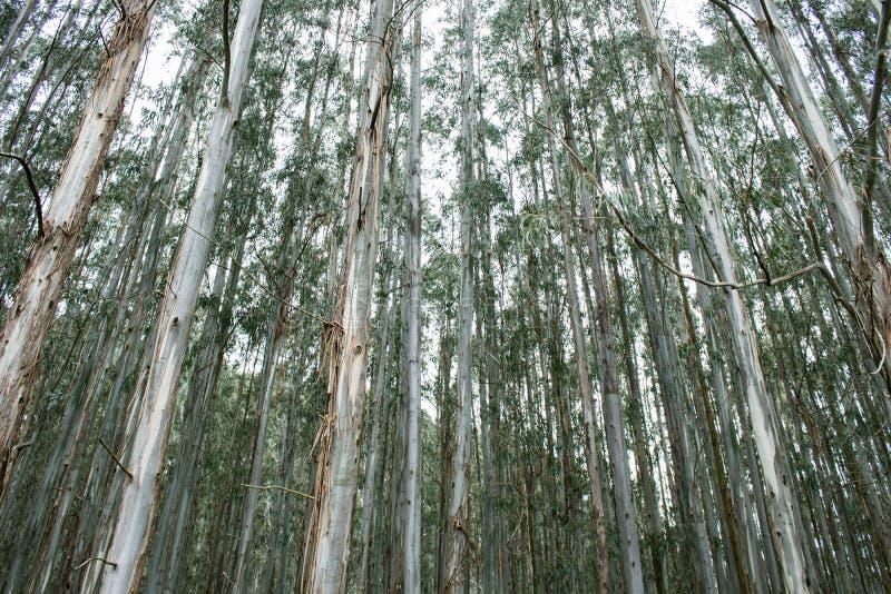 Las biali bagażniki zieleni drzewa i biały niebo w jesieni zdjęcia royalty free