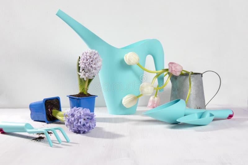 Las botas de goma amarillas y la regadera azul con un ramo de flores de los tulipanes blancos y rosados en el fondo blanco Cultiv fotografía de archivo