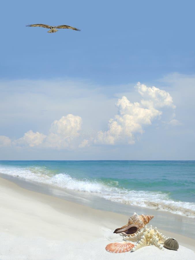 Las cáscaras del mar en una playa blanca hermosa de la arena como Osprey vuelan Ove fotografía de archivo libre de regalías