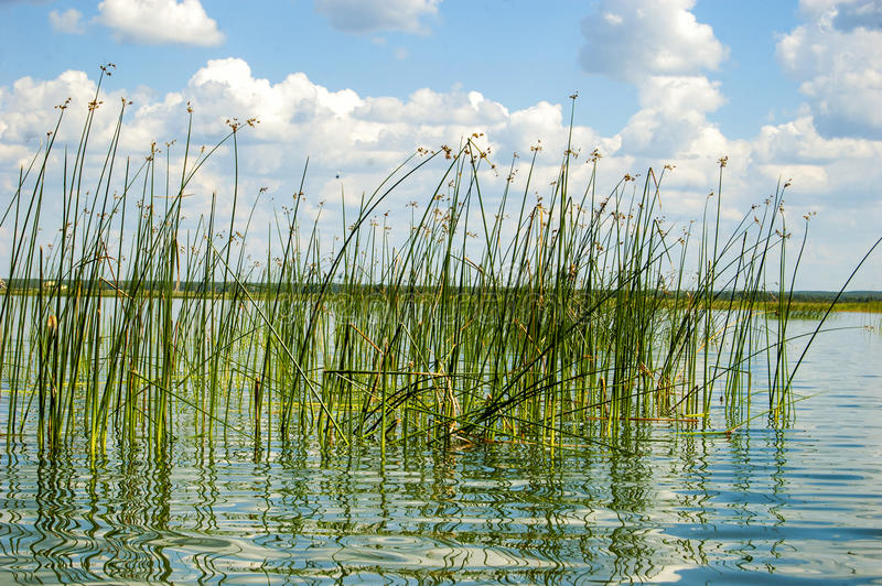 Las cañas del verde en el lago fotos de archivo