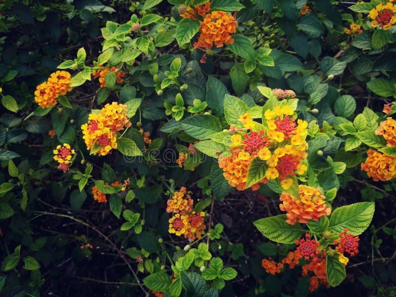 Las cabezas de flor brillantes del lantana o del lantana que llora están floreciendo en el jardín verde foto de archivo libre de regalías