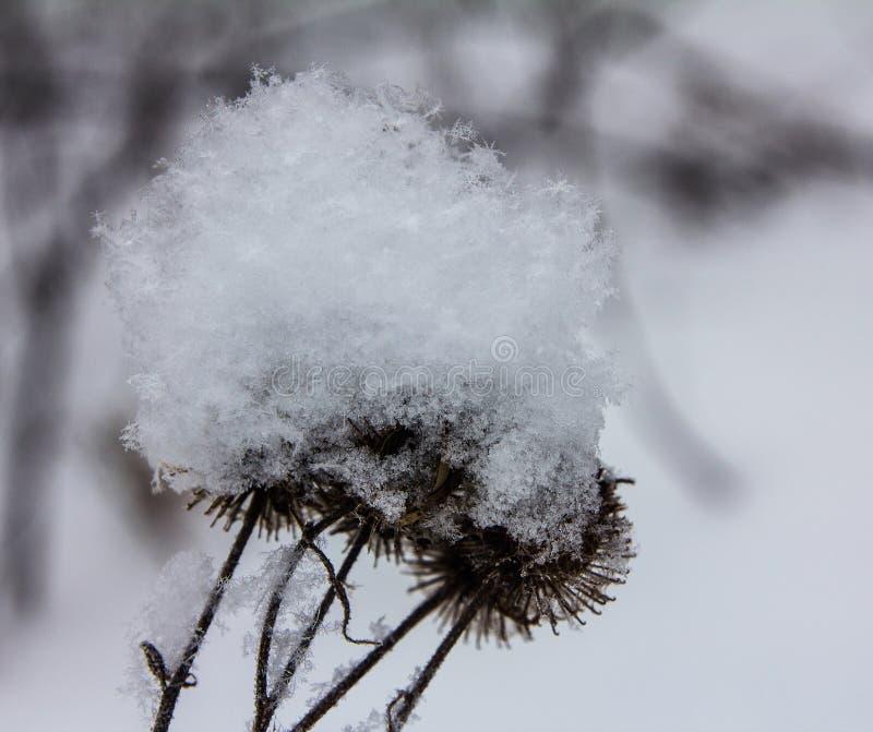 Las cabezas del cardo cubrieron con nieve fresca fotografía de archivo libre de regalías
