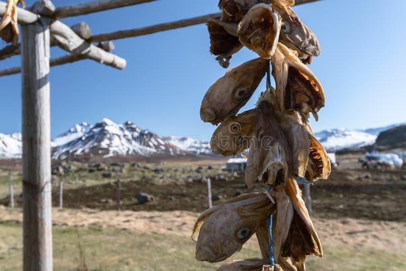 Las cabezas secadas de los pescados cuelgan en un estante en Borgarfjordur Eystri, fiordos del este, Islandia imagen de archivo