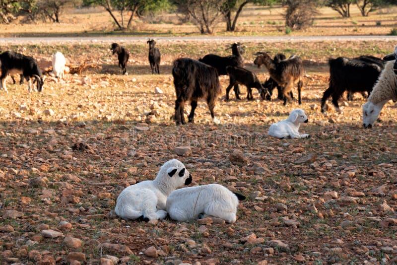 Las cabras de Marruecos en las hojas del árbol caen fotos de archivo
