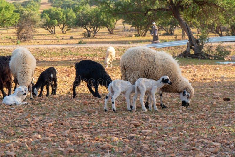 Las cabras de Marruecos en las hojas del árbol caen imagen de archivo