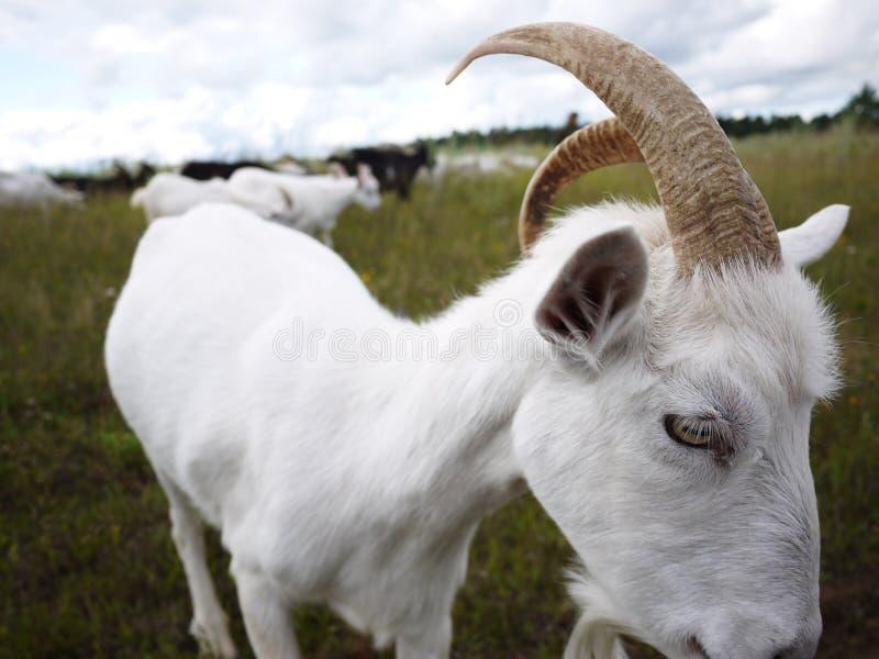 Las cabras pastan en el campo Una manada de cabras pastar y comer la hierba en un día soleado, los detalles y el primer imágenes de archivo libres de regalías