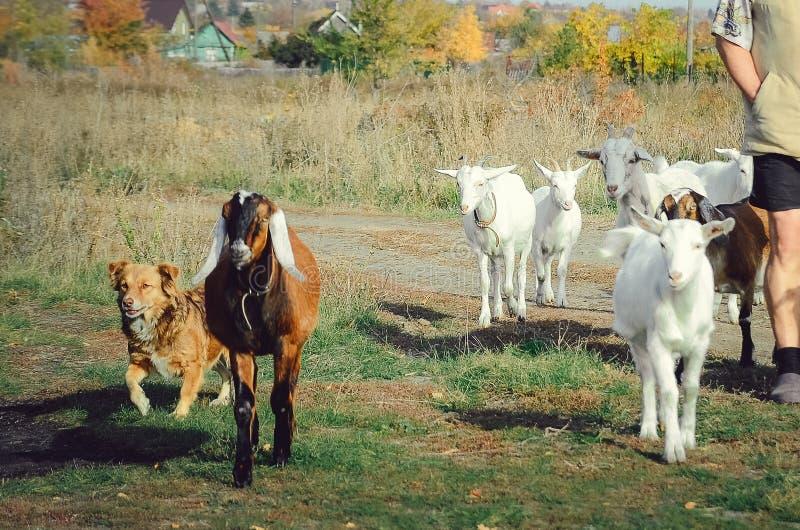 Las cabras pastan en un prado en el pueblo El pastor lleva ganado de pasto fotos de archivo