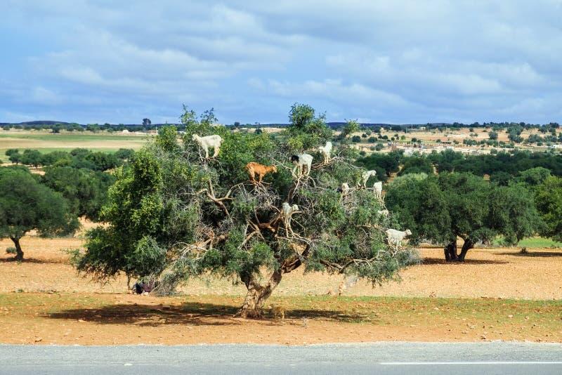 Las cabras suben para arriba el árbol del argan para comer sus nueces foto de archivo libre de regalías