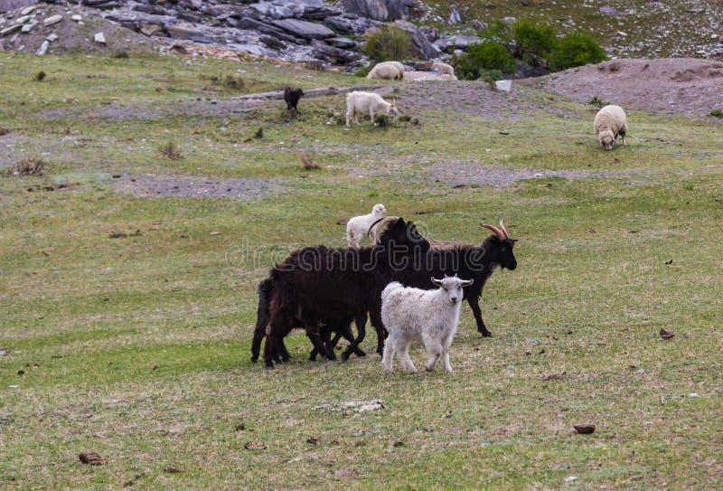 Las cabras y las ovejas pastan en un prado en una ladera, Altai, Rusia fotografía de archivo