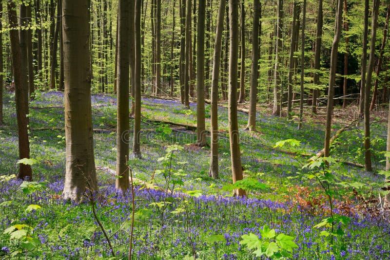 Las campanillas florecen finales de abril, la madera de Halle, Bélgica fotos de archivo