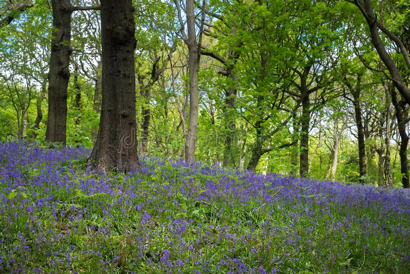 Las campanillas florecientes florecen en la primavera, Reino Unido fotografía de archivo