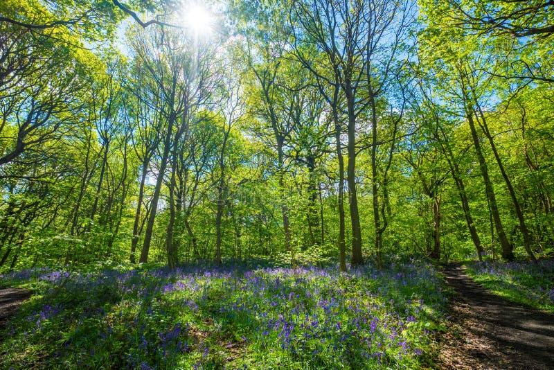 Las campanillas florecientes florecen en la primavera, Reino Unido imagen de archivo libre de regalías