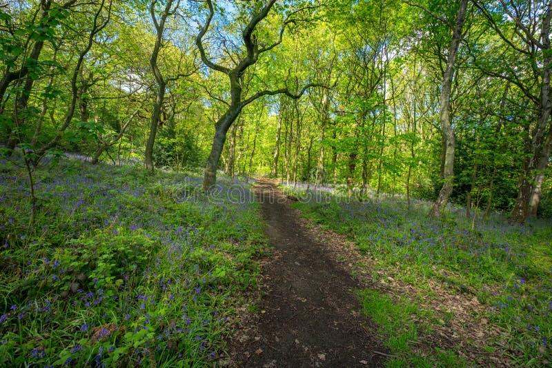 Las campanillas florecientes florecen en la primavera, Reino Unido imagen de archivo