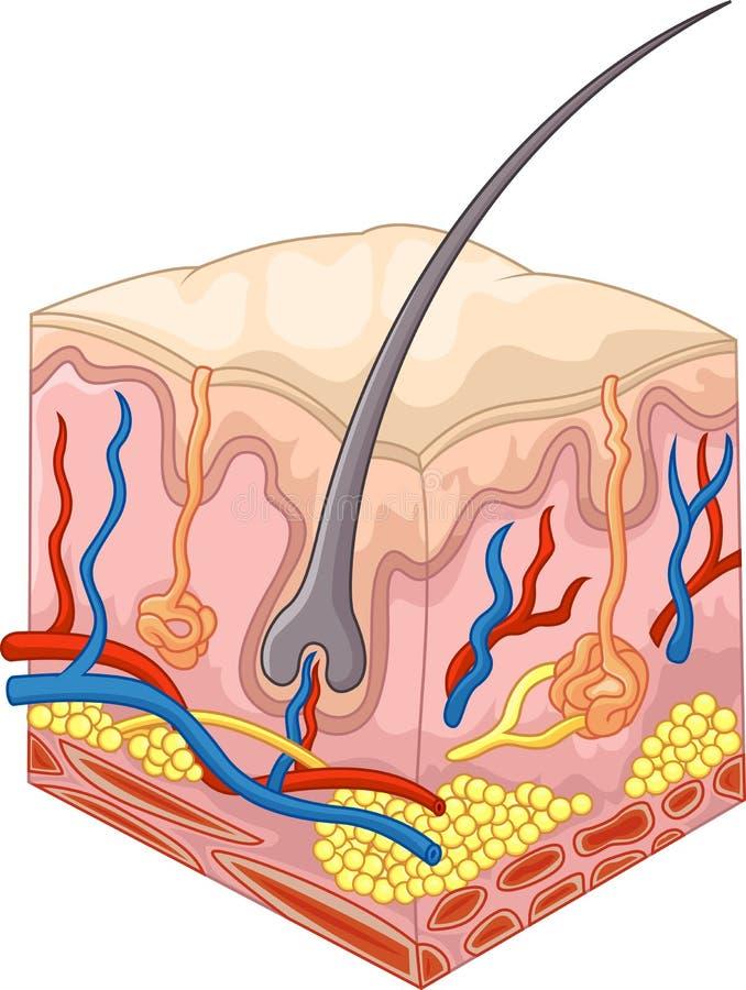 Las capas de piel y de poros ilustración del vector