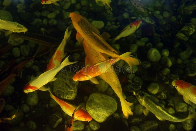 Las carpas japonesas hermosas del koi nadan en la parte inferior de la charca de fotografía de archivo libre de regalías