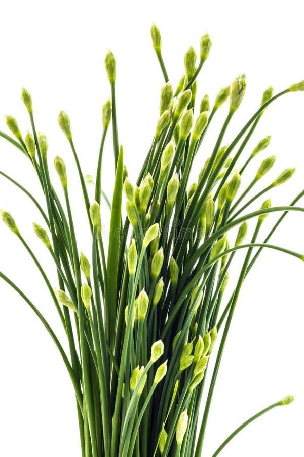 Las cebolletas florecen o cebolleta china aislada en el fondo blanco edi fotografía de archivo