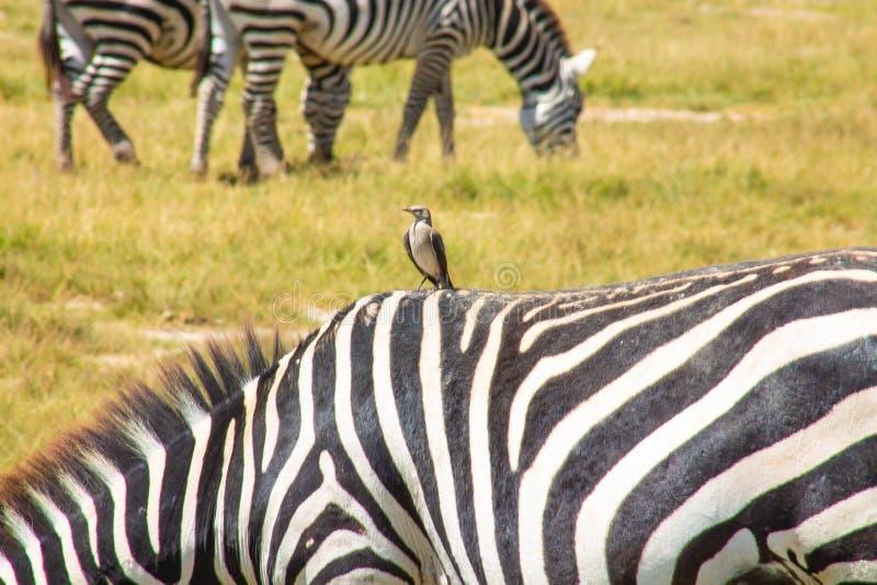 Las cebras mancharon el pasto en el desierto foto de archivo libre de regalías